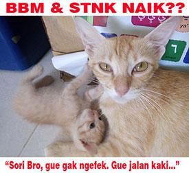 Meme kucing bbm stnk naik