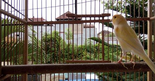 Burung kenari kuning