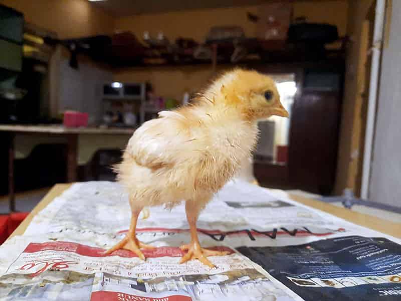 Tips Merawat Ayam di Rumah