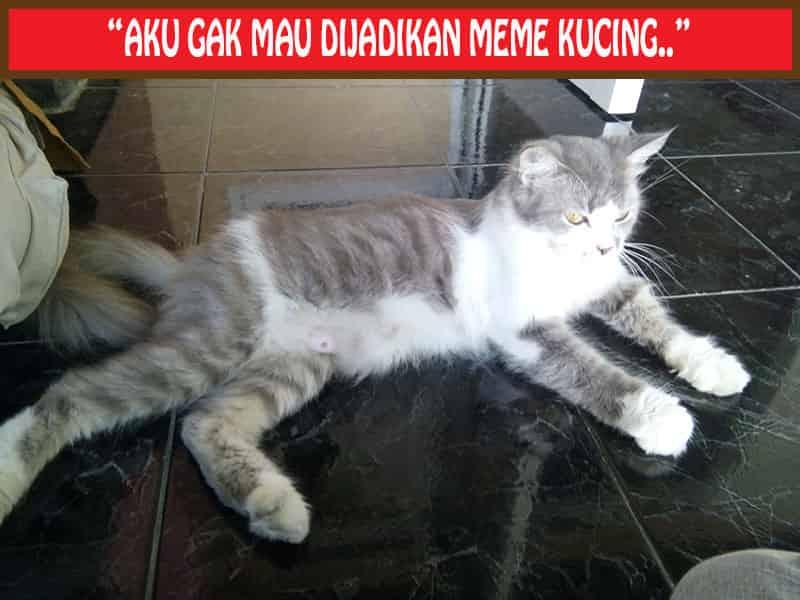 Humor Meme Kucing Lucu Menggemaskan
