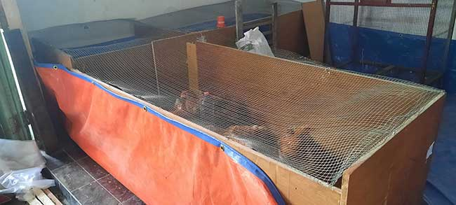 Ide kreasi kandang ayam sederhana dari bekas kayu lemari pakaian