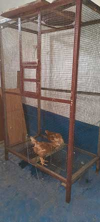 Kandang ayam unik dari bekas kandang burung Love Bird