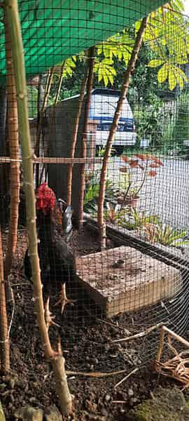 Memelihara ayam dalam kandang ayam pakai bahan kawat ram