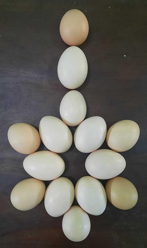 Ayam petelur mengeluarkan telurnya: video langka ayam sedang bertelur