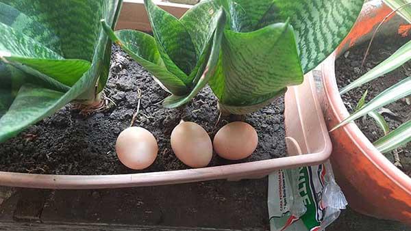 Telur ayam di nested box