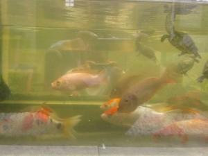 Ikan Nila dan Ikan Koi