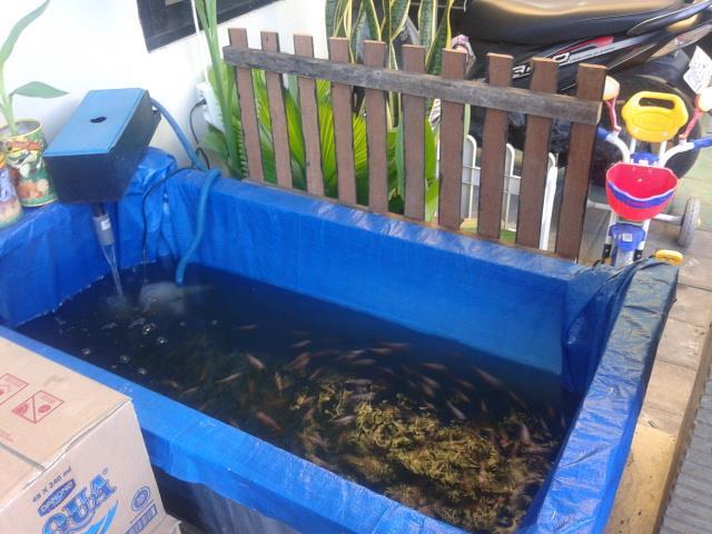 Kolam ikan terpal berisi ikan nila di teras rumah