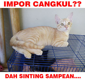 Meme kucing impor cangkul