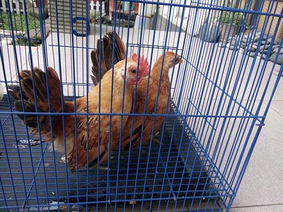 Ayam serama jantan dan betina